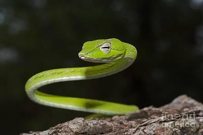 Whip Snake Art Print by Gary Bridger