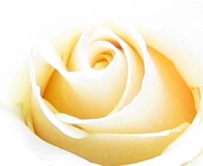 Whipped Butter Cream Rose Micros Art Print by Judyann Matthews