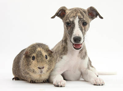 Brindle Photograph - Whippet Pup With Guinea Pig by Mark Taylor