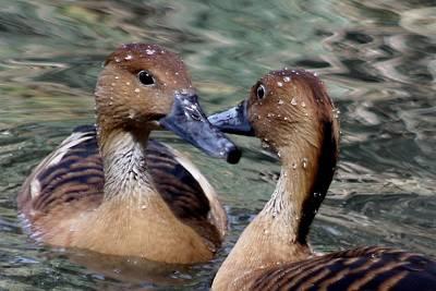 Whistling Ducks Art Print by Paulette Thomas