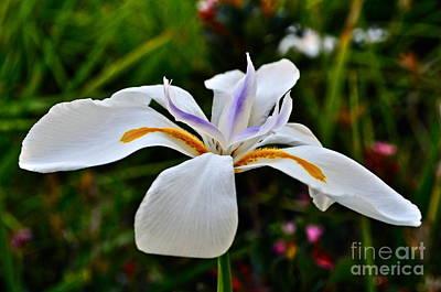 White African Iris Art Print by Gwyn Newcombe