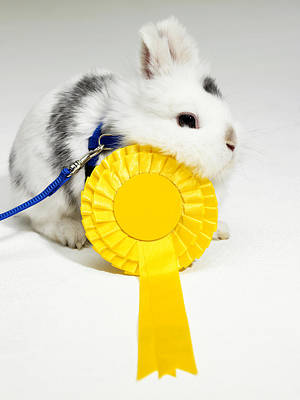 White And Black Rabbit On Blue Leash With Yellow Rosette Art Print by Michael Blann