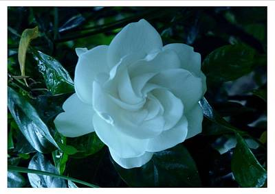 Art Print featuring the photograph White And Fragrant by Frank Wickham