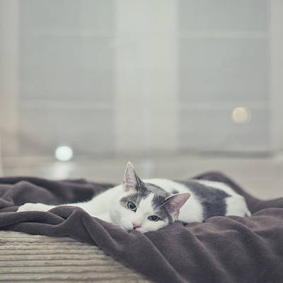 White And Grey Cat Lying On Brown Blanket Art Print