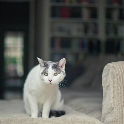 Focus On Foreground Photograph - White And Grey Cat On Couch Looking At Birds by Cindy Prins