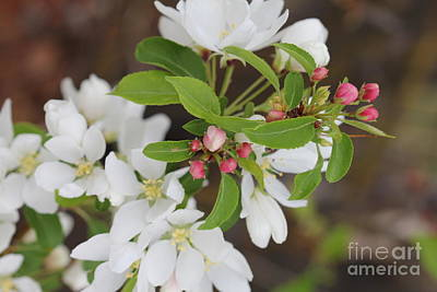 Photograph - White And Pink Blooms 2 by Donna Munro