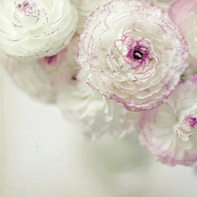 White And Pink Ruffled Ranunculus Flowers Art Print by Cindy Prins