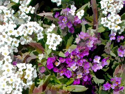 White And Purple Alyssum Art Print
