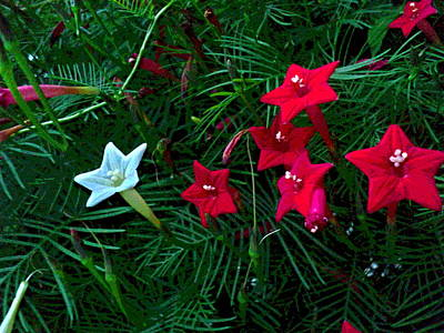 Impressionist Style Photograph - White And Red Cluster Of Cypress Vine Flowers by Padre Art