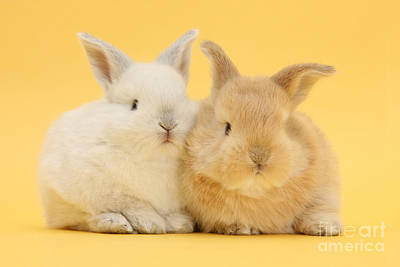 Photograph - White And Sandy Rabbits by Mark Taylor