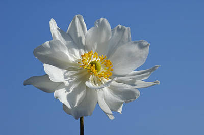 Pop Art Rights Managed Images - White Anemone blue sky Royalty-Free Image by Matthias Hauser