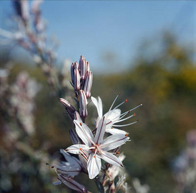 Photograph - White Asphodel In Flower by Paul Cowan