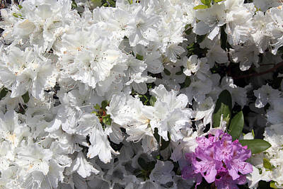 Photograph - White Azalea by Debra Martelli