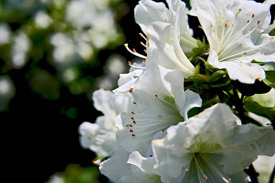 Photograph - White Azalea by Van Corey