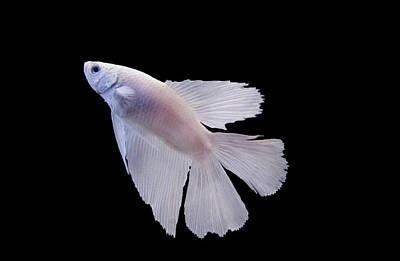 Siamese Photograph - White Betta Fish by photograph by Anastasiya Fursova