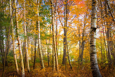 Photograph - White Birches by Robert Clifford