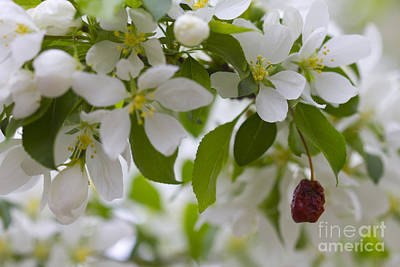 Photograph - White Bloom And Fruit by Donna Munro