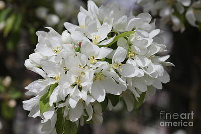 Photograph - White Bloom Cluster by Donna Munro