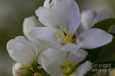 Photograph - White Blooms Close-up by Donna Munro