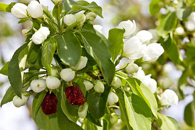 Photograph - White Blossoms And Fruit by Donna L Munro