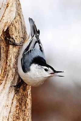 White-breasted Nuthatch 3 Art Print by Larry Ricker