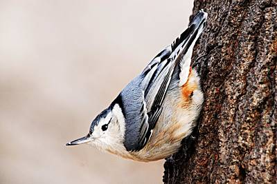 Wildlife Photograph - White-breasted Nuthatch 4 by Larry Ricker