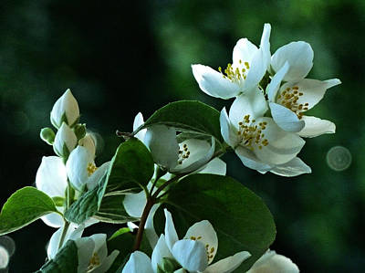 Art Print featuring the photograph White Buds And Blossoms by Steve Taylor