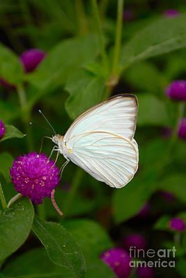 Meimei888 Digital Art - White Butterfly by Eva Kaufman