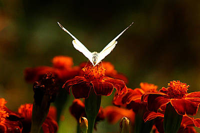 Photograph - White Butterfly On Flower by Emanuel Tanjala