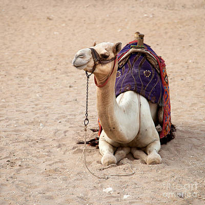 Bedouin Photograph - White Camel by Jane Rix