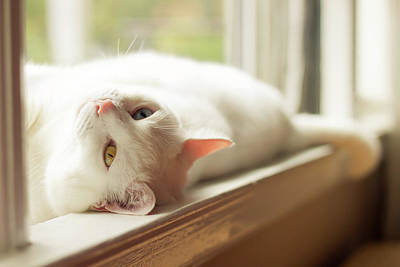 Window Sill Photograph - White Cat Relaxing In Windowsill by Kathryn Froilan