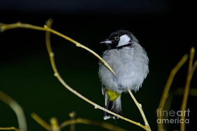 Photograph - White Cheeked Bulbul by JT Lewis