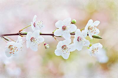 White Cherry Blossom Art Print by Jacky Parker Photography