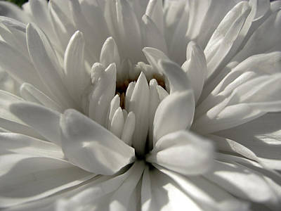 Photograph - White Chrysathemum by Fiona Messenger