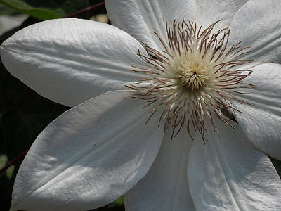 White Clematis Blossom Art Print by Peg Toliver