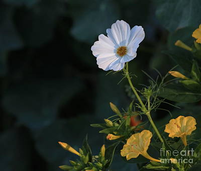 White Cosmos And Four O'clock Floral Art Print by Marjorie Imbeau