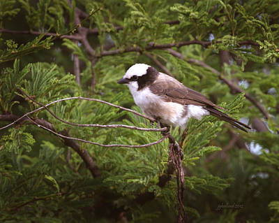 Photograph - White Crowned Shrike by Joseph G Holland