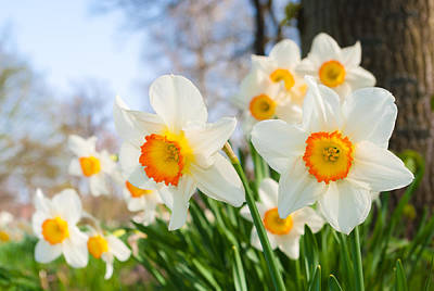 Art Print featuring the photograph White Daffodils by Hans Engbers