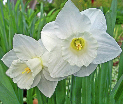Photograph - White Daffodils by Tikvah's Hope
