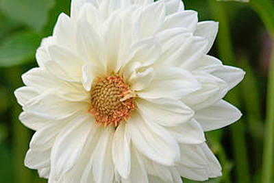Photograph - White Dahlia by Ann Murphy