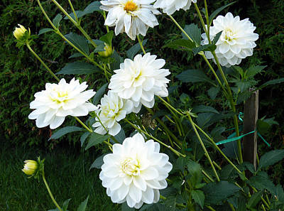White Dahlia Art Print by Vicky Tarcau