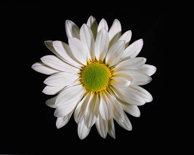 Photograph - White Daisy. by Chris  Kusik