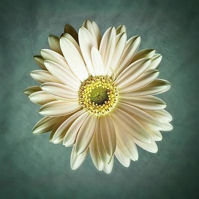 White Daisy Art Print by Tamyra Ayles