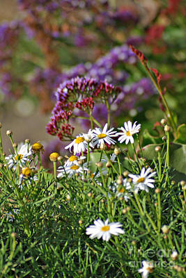 Photograph - White Daisys With Red And Purple Flowers by Shawn Naranjo