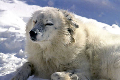 Photograph - White Dog On Snow by Emanuel Tanjala
