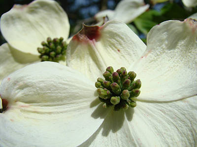 White Dogwood Flowers Art Prints Floral Art Print
