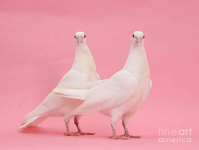 Dove Photograph - White Doves by Mark Taylor