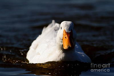 Wings Domain Photograph - White Duck . 7d8585 by Wingsdomain Art and Photography