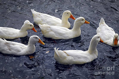 Birds Rights Managed Images - White ducks Royalty-Free Image by Elena Elisseeva