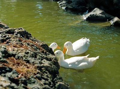 Photograph - White Ducks by Lynnette Johns